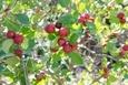 צמחיה