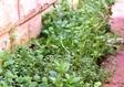 שתילת צמחי תבלין ריחניים לגינה
