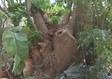 גיזום עצים בבית פרטי